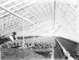 Agriculture - crops - lettuce - greenhouse