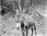 Large burro in Boulder Canyon