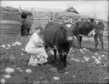 Agriculture - ranching - woman milking a cow