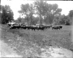 Agriculture livestock dairy herd in a field