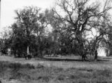 Among the live oaks, Kings County