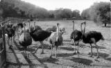 Cawston Ostrich Farm, South Pasadena
