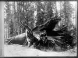 Big trees, Fallen Giant