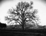A white oak on the Santa Ynez, Calif.