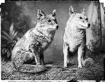 Coyotes or prairie wolves