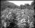 Sweet corn, Routt County