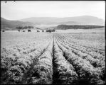 Potatoes in the Carbondale Dist., Colo. Midland Ry.