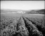 65 acre potatoe [sic] patch, Colo. Midland Ry.