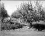 A Grand Valley apple orchard, Colo. Midland Ry.