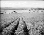 Potatoes on Edgerton Ranch, Carbondale, Colo. Midland Ry.