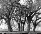 Cathedral Oaks, P.C.R.R., Los Olivos, Santa Barbara Co., Cal.
