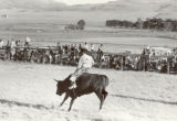 Cowboy riding steer, Bean Day Rodeo, Wagon Mound, N.M.