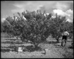 Peach orchard in the Grand Valley, Colo. Midland Ry.