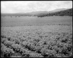 Potatoe [sic] field, Sweet Ranch, Colo. Midland Ry.