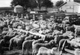 Sheep-feeding at a state agricultural college farm demonstration, farm of George B. Long at Wiley,...