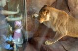 (DENVER, Colo., June 22, 2004) A female lion swats at the glass as visitors attend the grand...