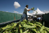 MJM476  Jose Hernandez (cq) unloads a truck full of sweet corn gathered at a nearby field Saturday...