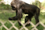 (Denver, Colo. June 23, 2004)   At the Denver Zoo there are two baby gorillas one Tulivu is being...