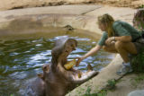 Bertie (cQ) the hippo, LEFT, the Denver Zoo' oldest resident gets fed an entire angel food cake by...