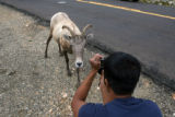Aaron Singh(cq), of Phoenix, takes a picture of a bighorn sheep along Mt. Evans Byway Tuesday,...