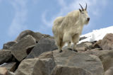 (Arapaho National Forest, Mt. Evans Wilderness Area,  Colorado... July1, 2004)  A mountain goat...
