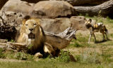 (Denver, Colo., July 12,  2004)    Animals at the Denver Zoo's Predator Ridge.    Kruger, a male...