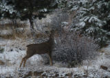 A buck mule deer, having dropped its antlers, browses on mountain mahogany in the foothills...