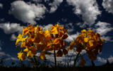 CLEAR CREEK COLORADO - July 12, 2004 )  A group of Western Wallflower glows in the sun just of hwy...