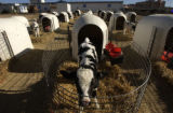 A calf in the calf pens at the East Canon City Complex of Colorado state prison Tuesday March 14,...