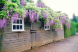 SH06D020YARDSMART April 3, 2006 _ Japanese wisteria flowers may reach 18 inches in length. (SHNS...