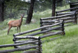 Fortuanly most wild animals are creatures of habit. I saw this beautiful bull elk in Yellowstone...