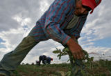 DLM01923   Juan Mendoza clears weeds from a field planted with dill weed along with other...