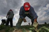 DLM01903   Juan Mendoza clears weeds from a field planted with dill weed along with other...