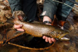 Ed Dentry photo for Oct. 20, 2006. Brown trout are fall's star performers. This hookjawed male,...