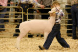 Draven Smith, 9, of Waynoka, OK., controls his Dorset lamb at it is shown in the Junior market...