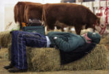 Tony Klein (cq) from Tekamah, NE tries to catch a wink next to his miniature herefords in the...