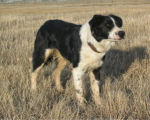 Trigger, a border collie owned by Jim and Patti Chant of Baggs, Wyoming, was one of 4 border...