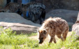 (DENVER, Colo., July 22, 2004)  Three new spotted hyenas (Crocuta crocuta) made their media debut...
