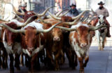 Cowboys drive longhorn cattle down 17th St. in downtown Denver as they lead the National Western...