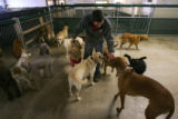 Camp counselor Keith Dunning (cq), 26, doles out attention to a bunch of dogs at Camp Bow Wow in...