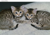 PRN3 - Kittens Tabouli and Baba Ganoush, both cloned from the same Bengal cat.  They are the first...