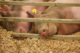 A couple of swine sleep before they took part in the Junior Market Swine Show Tuesday morning...