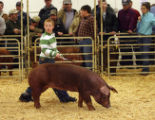 Grant Vickland, nine years old from Longmont, keeps his eyes on the judge while he shows his swine...