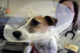 Dr. Lori Wise DVM, (cq) holds Snafu, a Jack Russell Terrier, at the Wheatridge Animal Hospital in...