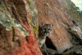 Mountain Lion   Alternative Title: cougar   Creator: Moats, Larry   Source: WO2984-25  Publisher:...