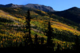 Silhouetted pine trees, in shadow, stand in front of turning aspens in the Gunnison National...