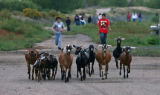 A group of goats are chased by Vinchenzo Moscoso (cq), left, 12 years old and Jerry Valle (cq), 14...