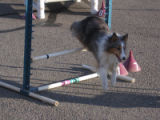 This professional agility dog doing a demo for the crowd is a member of the Front Range Agility...
