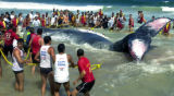 RIO102 - Firefighters try for the second day to save a beached humpback whale in Jurujuba beach,...