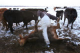 MJM1086 Unable to turn over by itself, rancher, Bill Wilkinson (cq) puts a ten month old calf back...